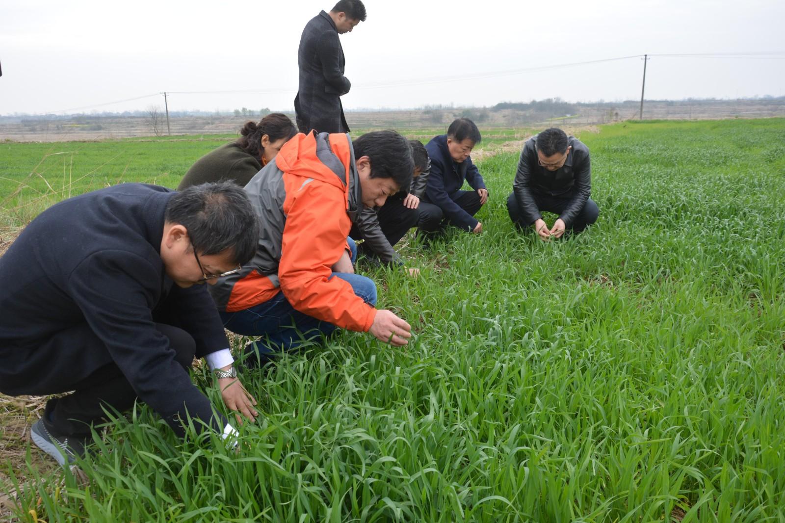 省农业农村厅农技人员检查王兴武家庭农场小麦生长情况
